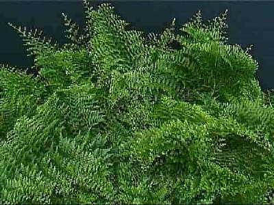 Verona Lace Fern, nephrolepis exaltata   Statue Tree